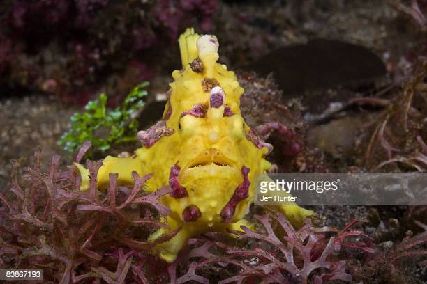 Ugly Yellow Warty Frogfish on Coral Reef