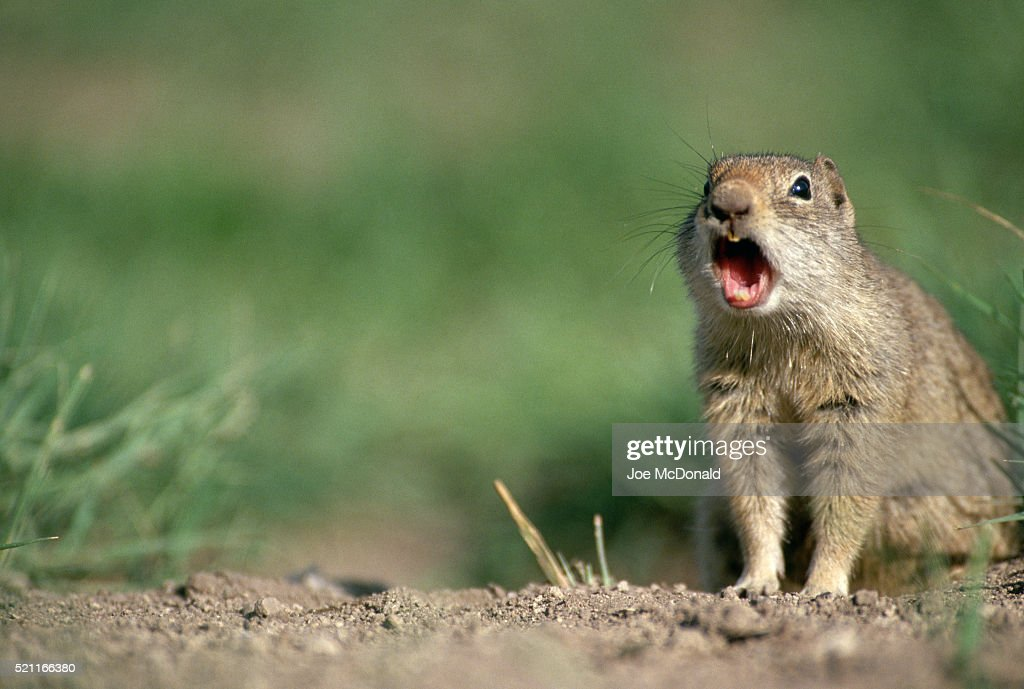 Uinta Ground Squirrel Barking Alarm Stock Photo - Getty Images