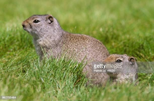 Uinta Ground Squirrel dans le Parc National du Yellowstone Wyoming Etats unis