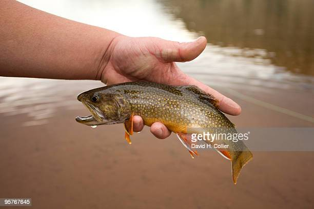 uintas brook trout - speckled trout stock photos and pictures