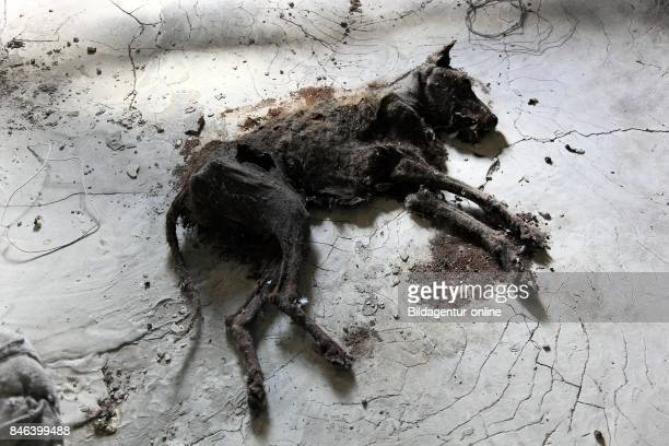 Ukraine In the Restricted and Uninhabitable 30 Kilometer Zone Around the Chernobyl Power Plant and the Pripyat Labor Camp Mummified Dog