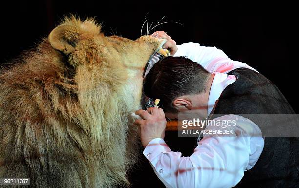 Ukrainian lion tamer Vladislav Goncharov puts his head into the mouth of a lion in Budapest Capital Circus on January 21 2010 during a rehearsal of...