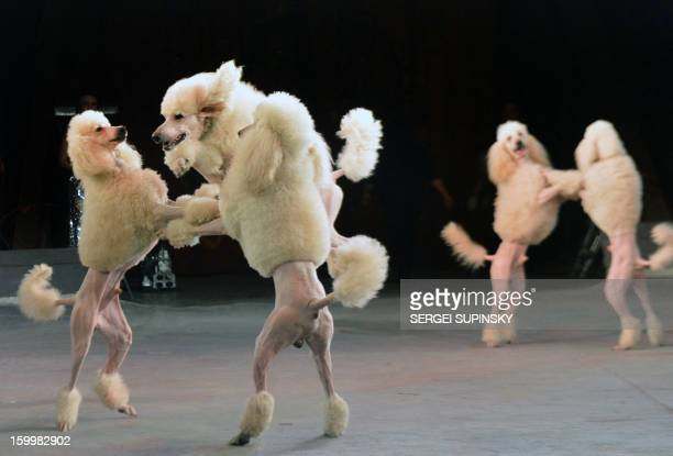 A Ukrainian National Circus artist performs with dogs during presentation of the new programme in Kiev on January 24 2013 AFP PHOTO/ SERGEI SUPINSKY