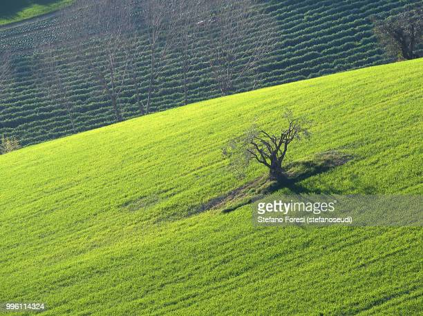 ulivo nel grano - foresi stock pictures, royalty-free photos & images