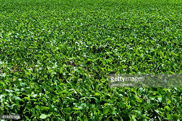 A vast field of lush fodder crop grown in northern New South Wales.