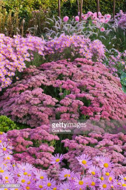ulting wick garden - chrysanthemum stock pictures, royalty-free photos & images