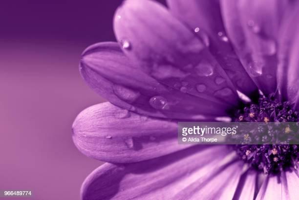 Ultra Violet Flower