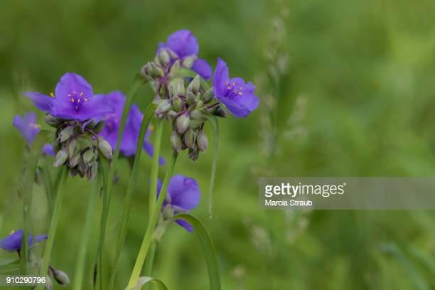 ultra violet flowers - purple rain stock pictures, royalty-free photos & images