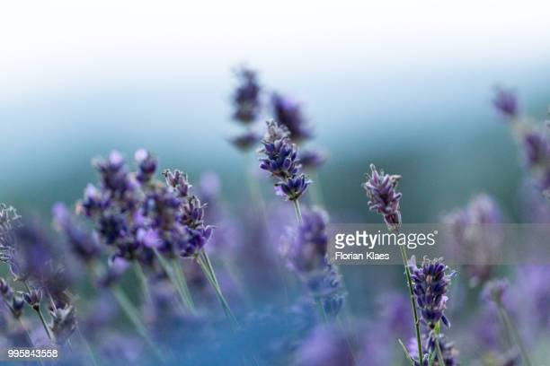 ultra violet - lavender plant stock pictures, royalty-free photos & images