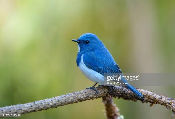 ultramarine flycatcher, beautiful bird in thailand. - 鳥 ストックフォトと画像