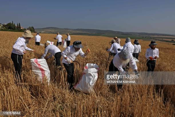 Ultra-Orthodox Jews harvest wheat in a field near the Israeli city of Modiin on April 28 which will be kept in long-term storage before being used to...