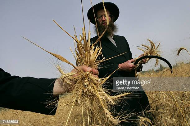 UltraOrthodox Jews harvest wheat with a hand sickle in obediance of an ancient biblical command May 30 2007 near the central Israeli town of Reut He...
