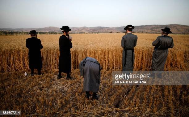 UltraOrthodox Jews hold a prayer after they harvest wheat in a field near the Mevo Horon settlement in the West Bank on May 10 2017 The wheat will be...