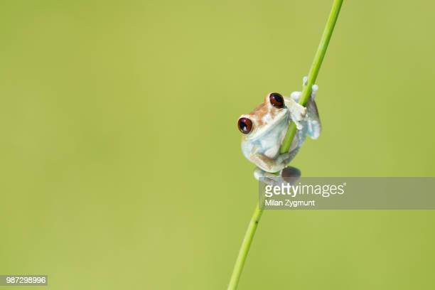 uluguru forest tree frog - tree frog stock pictures, royalty-free photos & images