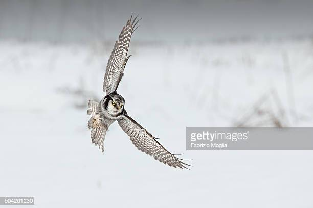 Ulula Hawk Owl