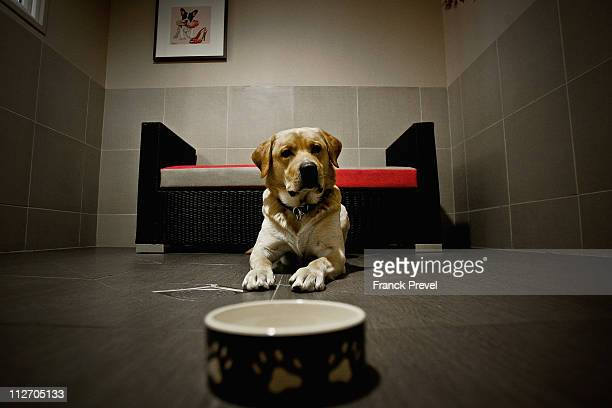 'Ulysse' a labrador stays in its hotel room at Actuel Dogs on April 19 2011 in Vincennes France Opened in November 2010 by Devi and Stan Burun Actuel...