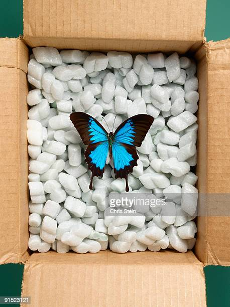 ulysses blue mountain swallowtail butterfly in a b - ulysses butterfly stock pictures, royalty-free photos & images