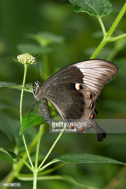 ulysses butterfly, blue mountain swallowtail or blue mountain butterfly -papilio ulysses-, australia - ulysses butterfly stock pictures, royalty-free photos & images