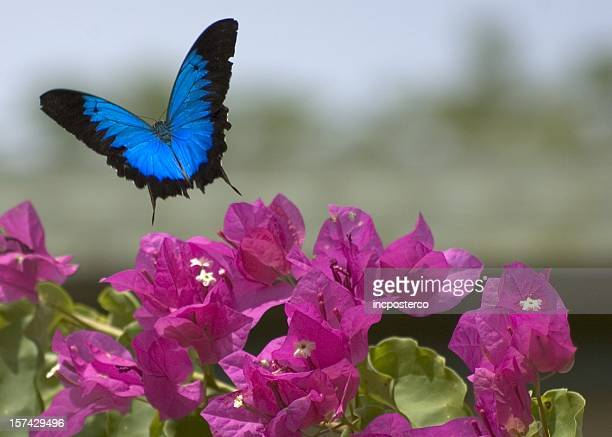 papillon ulysse & de bougainvilliers en fleur - ulysse photos et images de collection