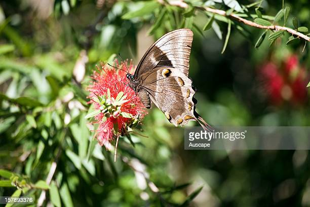 Ulysses butterfly , female on a Bottlebrush flower. Licuala Lodge, Mission Beach, North Queensland, Australia.