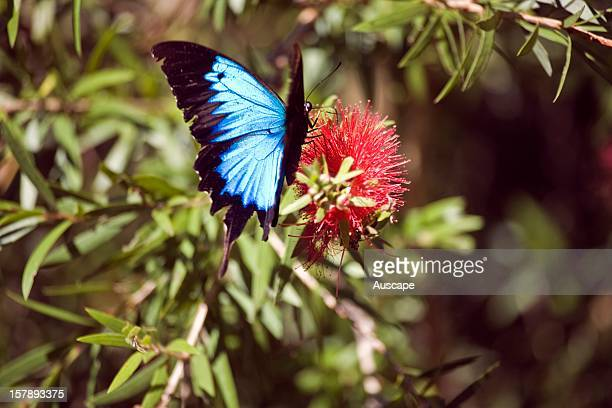 Ulysses butterfly , male on a Bottlebrush flower. Licuala Lodge, Mission Beach, North Queensland, Australia.