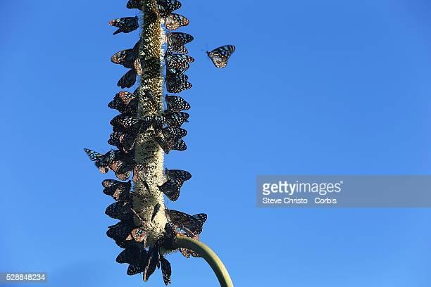 Ulysses Butterfly on Hamilton Island. Queensland, Australia. Sunday, 3rd May 2015