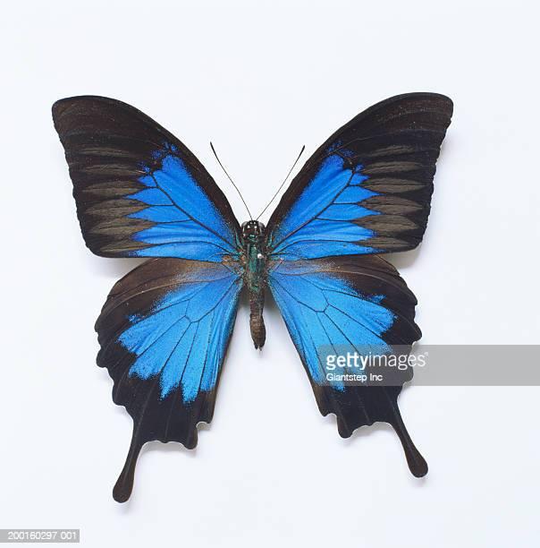 ulysses butterfly (papilio ulysses joesa), overhead view - farfalle colorate foto e immagini stock