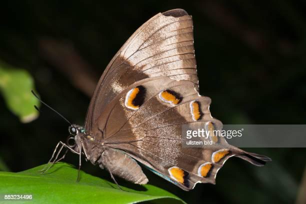 Ulysses Butterfly, Papilio ulysses joesa, Queensland, Australia