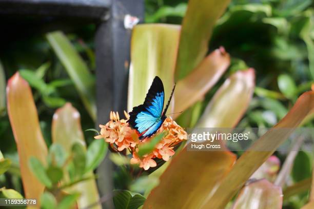 ulysses butterfly - ulysses butterfly stock pictures, royalty-free photos & images