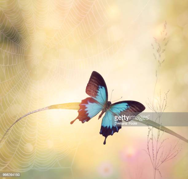 ulysses butterfly (papilio ulysses) - ulysses butterfly stock pictures, royalty-free photos & images