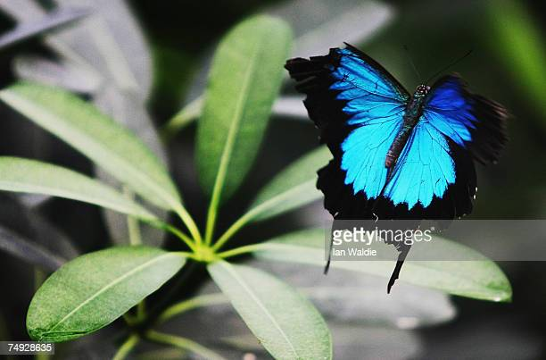 """Ulysses butterfly takes flight during the opening of the interactive butterfly habitat """"Flutterbys"""" at Sydney Wildlife World June 27, 2007 in Sydney,..."""