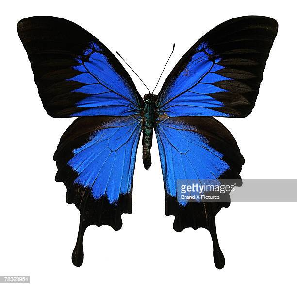 ulysses swallowtail butterfly - ulysses butterfly stock pictures, royalty-free photos & images
