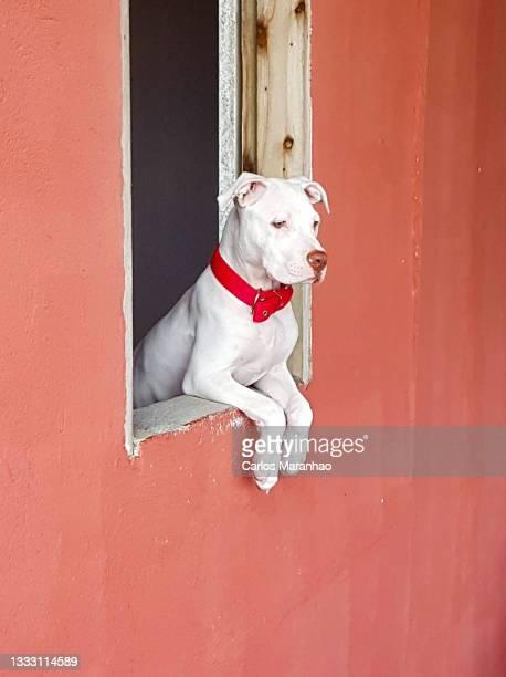 um cachorro olhando pela janela - um animal stockfoto's en -beelden