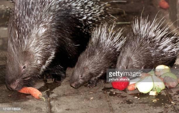 Um das frische Gemüse drängt sich am 9.12.1999 in einem Gehege des Duisburger Zoos der vier Wochen junge Stachelschwein-Nachwuchs. Vorerst bewegen...