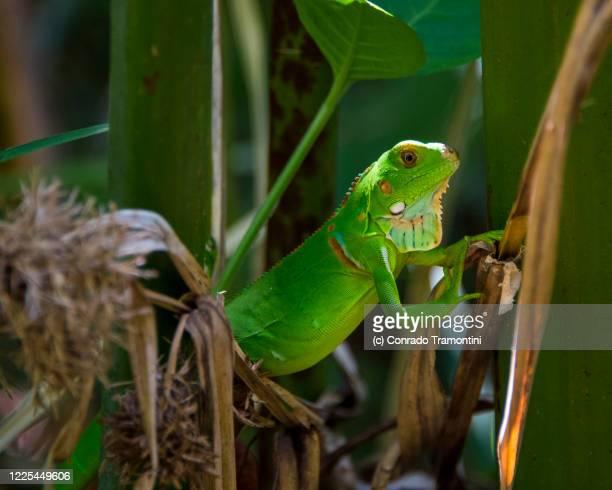 um largato entre a vegetação - um animal fotografías e imágenes de stock