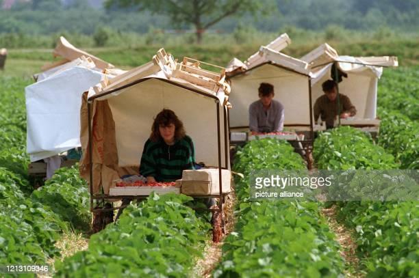 """Um sich vor Sonne und Regen zu schützen, arbeiten die Erdbeerpflücker bei Oberkirch im Schwarzwald in einer Art """"Schneckenhaus"""". Sie sitzen in ihren..."""