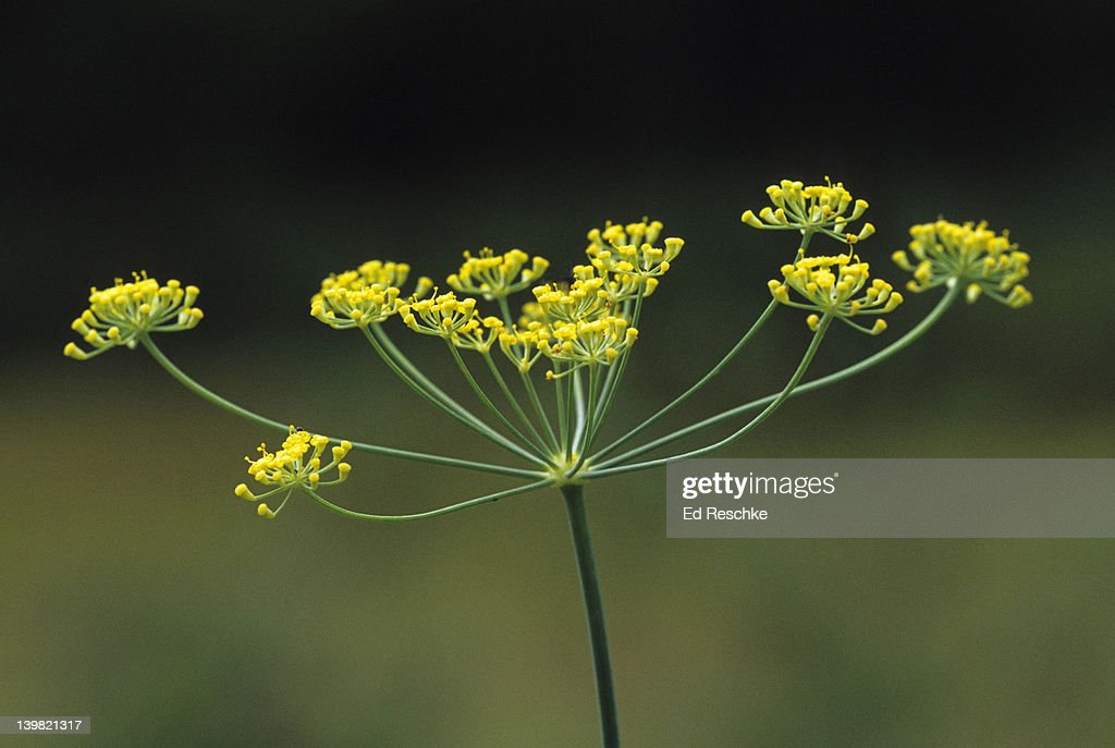 Umbel A Type Of Inflorescence Sweet Fennel Foeniculum ...