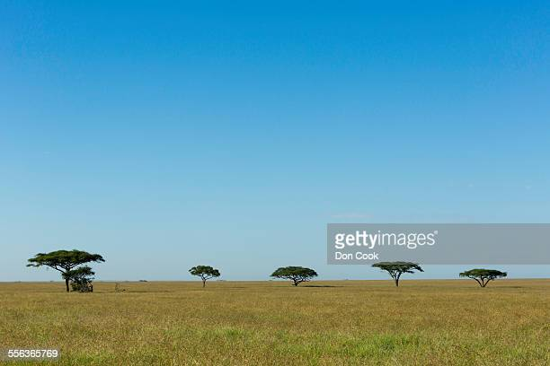 Umbrella Acacia Trees In Serengeti National Park