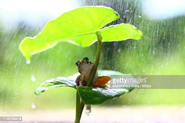 umbrella frog - frog stock pictures, royalty-free photos & images