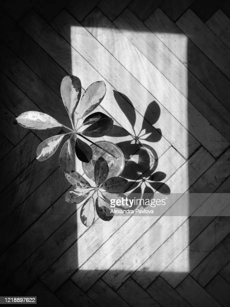 umbrella plant (schefflera) and its shadow in a frame of light - alexandra pavlova stock pictures, royalty-free photos & images