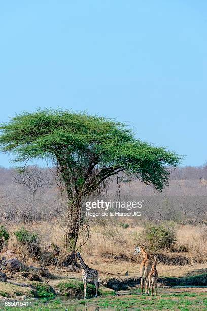 60 Top Umbrella Thorn Acacia Tree Pictures Photos And Images