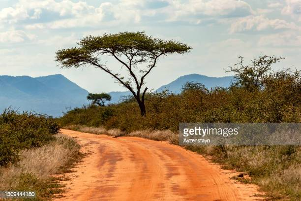 umbrella thorn acacia tree with dirt road at wild - biggest stock pictures, royalty-free photos & images