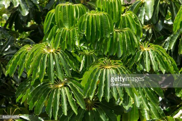 umbrella tree - schefflera actinophylla - queensland umbrella tree stock pictures, royalty-free photos & images