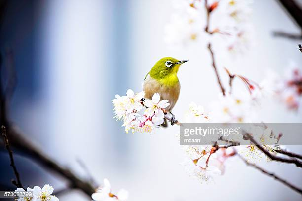 ume and mejiro - march month stock pictures, royalty-free photos & images