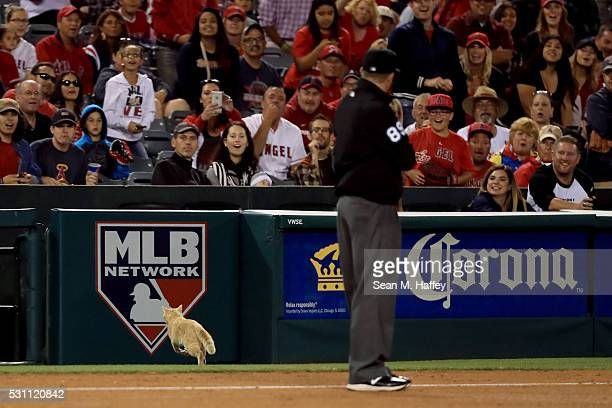 Umpire Cory Blaser looks on as a cat runs onto the field during the fourth inning of a baseball game between the Los Angeles Angels of Anaheim and...