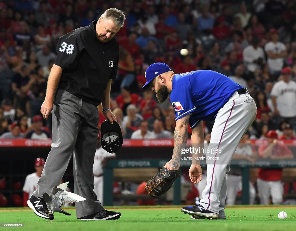 Umpire Gary Cederstrom #38 and Mike Napoli #5 of the Texas Rangers try to coax a bird off the field in-between innings during the game against the Los Angeles Angels of Anaheim at Angel Stadium of Anaheim on August 21, 2017 in Anaheim, California.