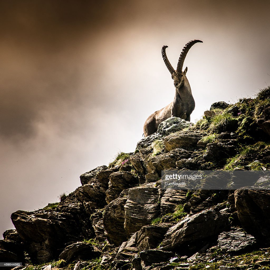 Un bouquetin aux Evettes - An ibex in french Alps : Stock Photo