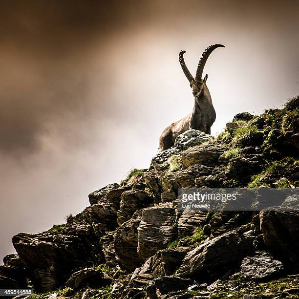 un bouquetin aux evettes - an ibex in french alps - ibex ストックフォトと画像