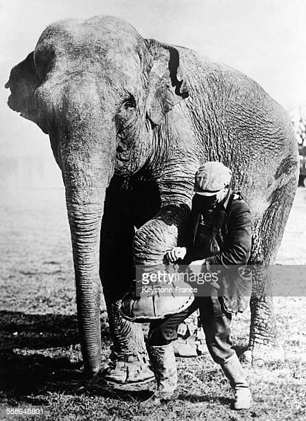 Un directeur de cirque met aux pattes de l'éléphant des souliers en cuir pour le protéger des pavés au RoyaumeUni en 1930