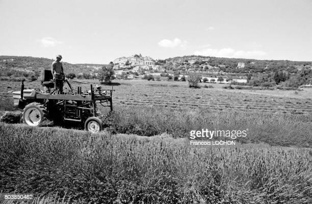 Un homme sur son tracteur dans un champ de lavande au moment de la récolte dans les AlpesdeHauteProvence le 29 juillet 1987 à SimianelaRotonde France